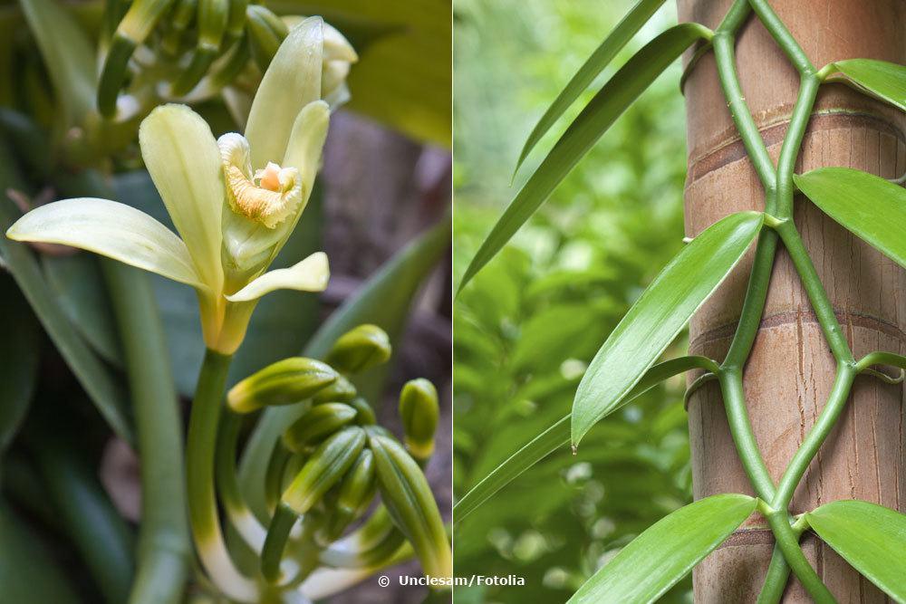 Vanille-Orchideen nutzen Bäume als Rankhilfe