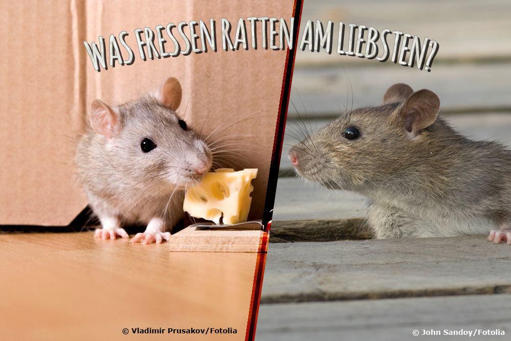 Was fressen Ratten am liebsten