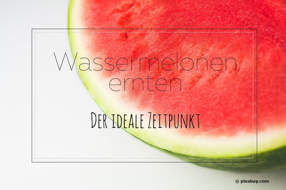 wassermelonen ernten der ideale zeitpunkt wann sind melonen reif. Black Bedroom Furniture Sets. Home Design Ideas