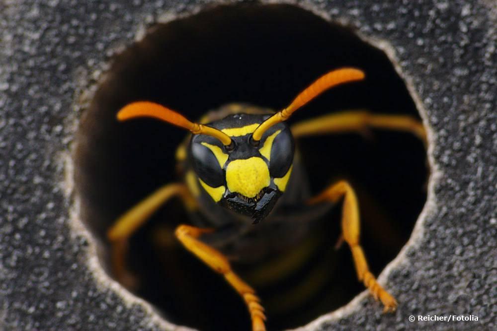 Wann fliegen Wespen?