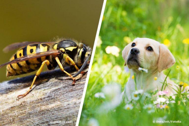 Wespenstich beim Hund