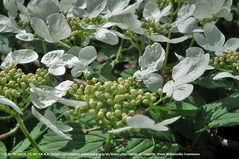 Wohlriechender Schneeball, Viburnum odoratissimum