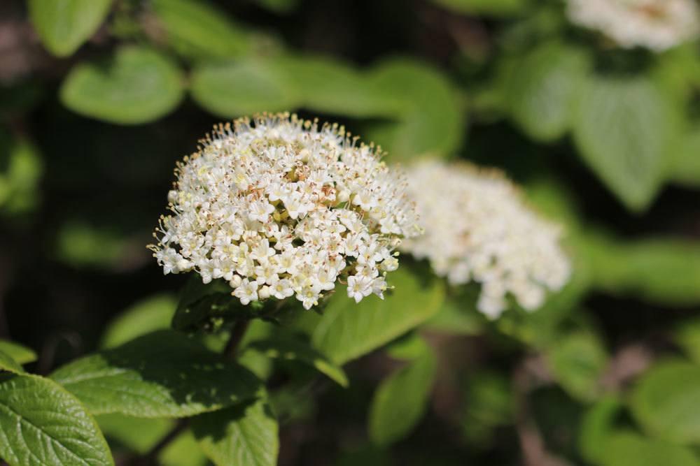 Wolliger Schneeball, Viburnum lantana