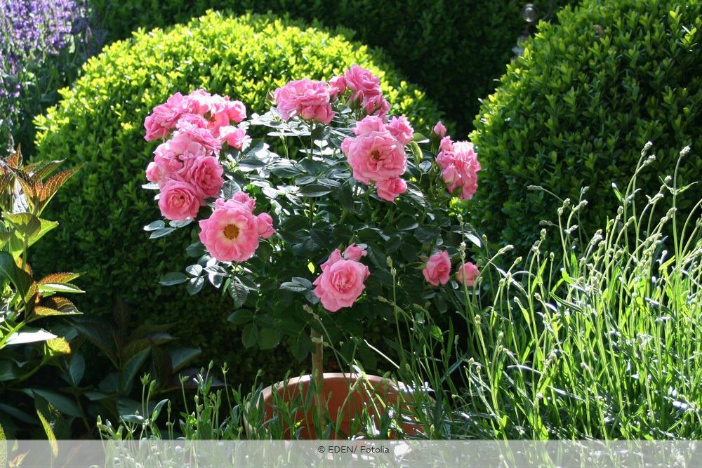 Rosenstämmchen im Kübel