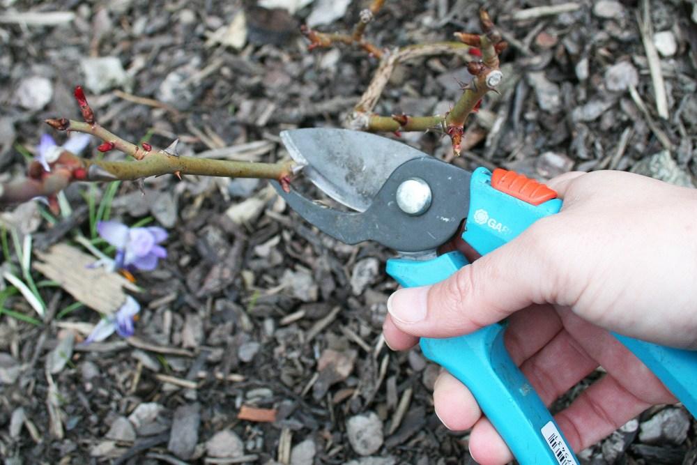 Rosen schneiden mit Schere