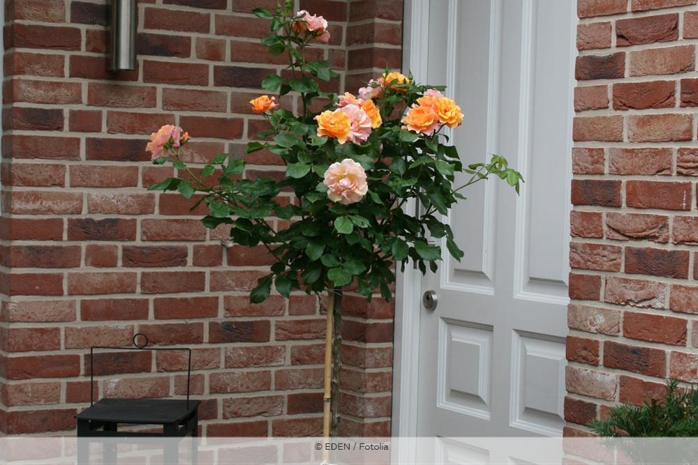 Hochstammrose vor der Haustür