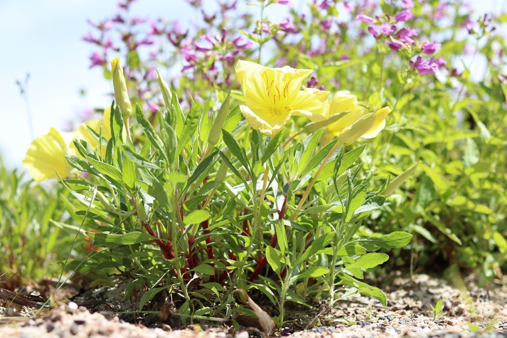 nachtkerze oenothera standort pflanzen und pflege von a z. Black Bedroom Furniture Sets. Home Design Ideas