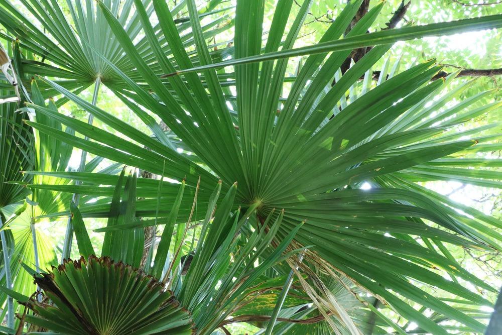 chinesische hanfpalme trachycarpus fortunei