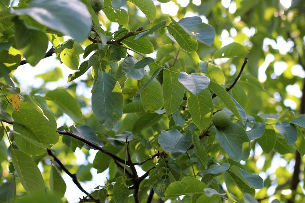 Walnussbaum-Titel