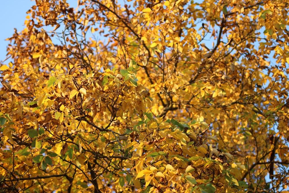 walnussbaum im herbst