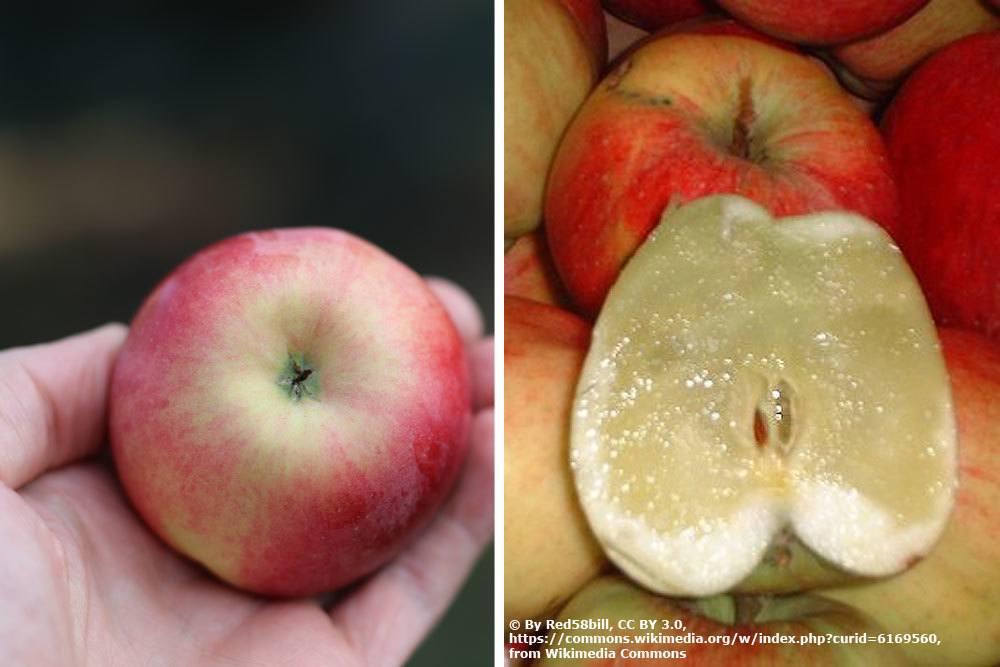 Glasigkeit am Apfel