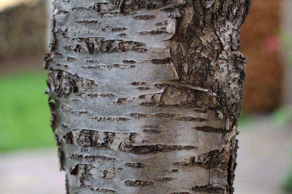 Apfelbaum Stamm