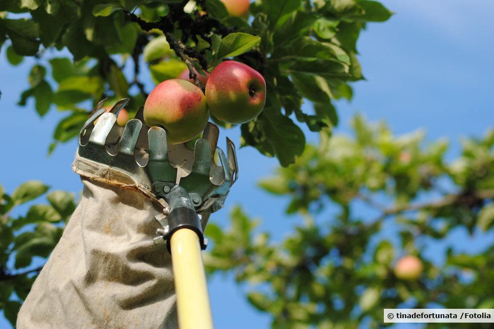 Apfelernte mit Apfelpflücker
