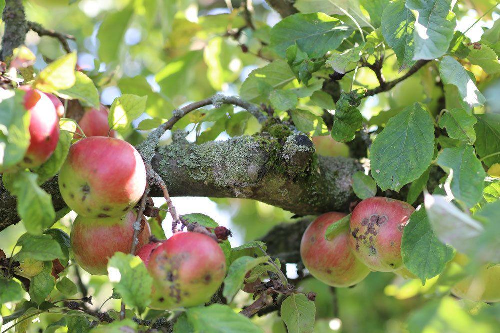 Apfelschorf, Venturia inaequalis