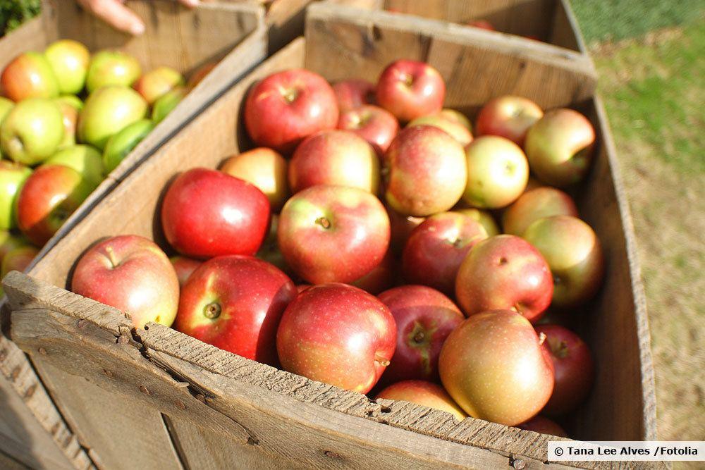 Jonagold Äpfel