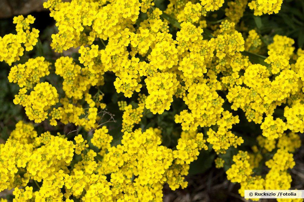 Bergsteinkraut, Alyssum montanum