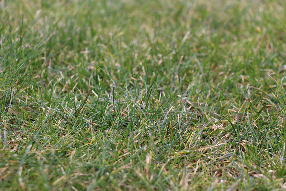 Blattfleckenkrankheit am Rasen