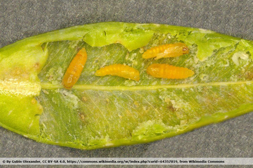 Buchsbaumgallmücke, Monarthropalpus buxi