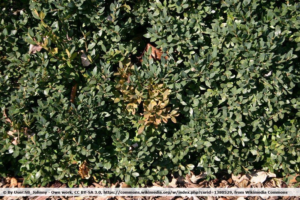 Buchsbaumkrebs, Volutella buxi