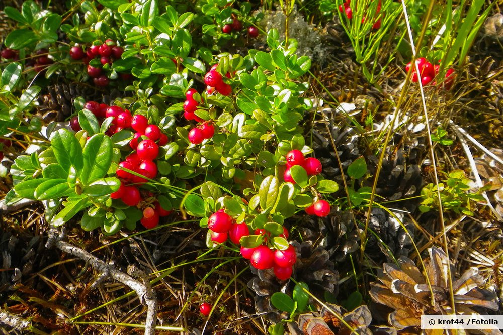 Cranberry, Moosbeere, Vaccinium macrocarpon