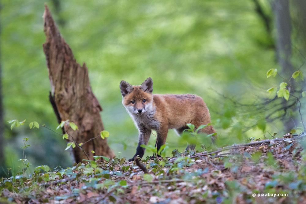 Die Fuchspopulation steigt