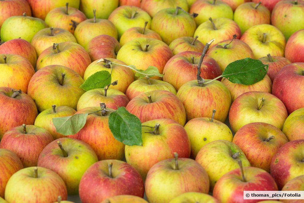 Goldparmäne Äpfel