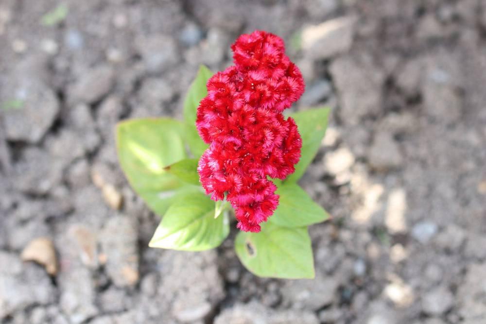 Hahnenkamm, Celosia cristata
