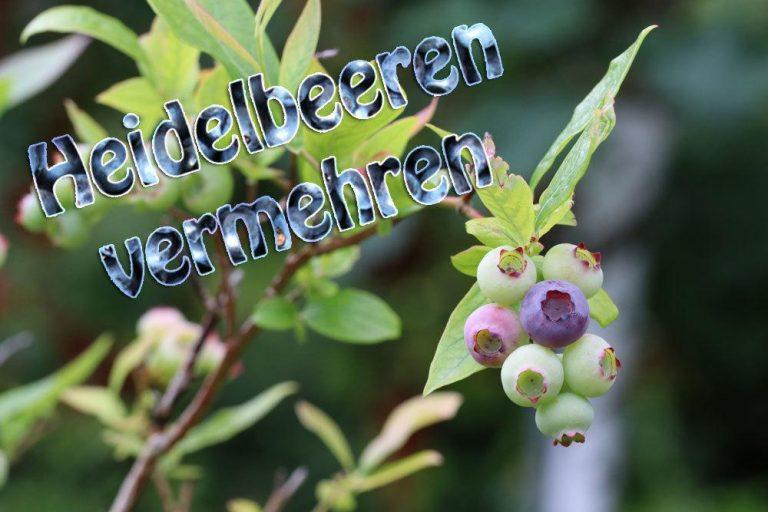Heidelbeeren vermehren