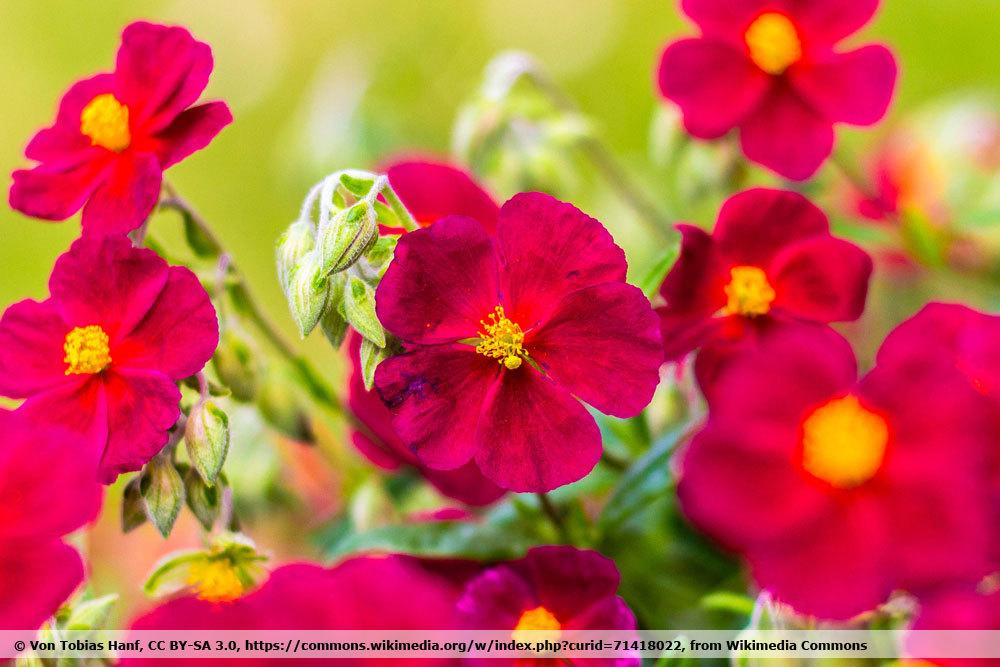 Sonnenröschen Helianthemum 'Red Orient'