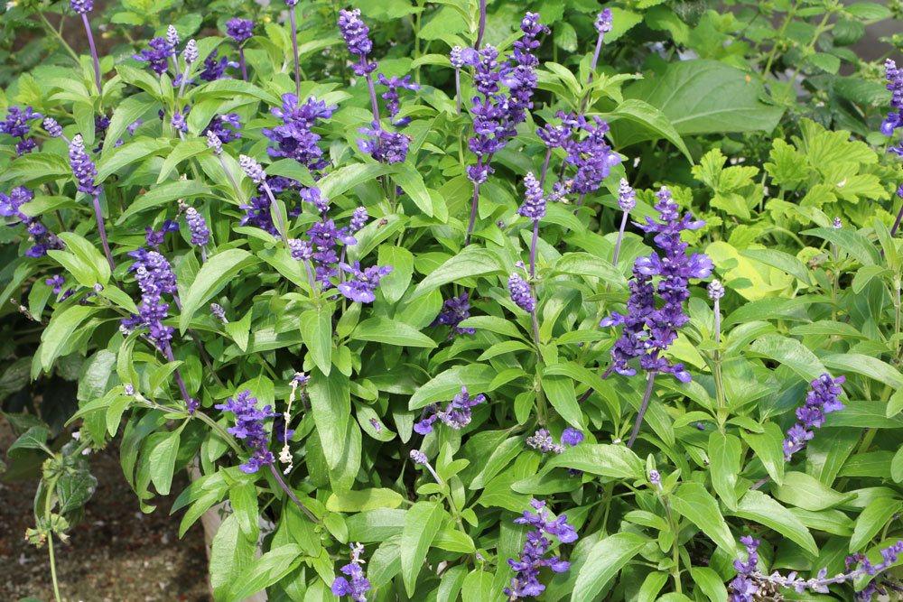 Mehlsalbei, Salvia farinacea