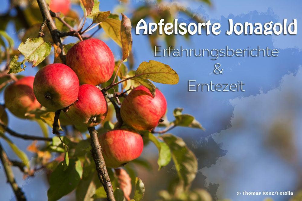 Apfelsorte Jonagold Erfahrungen
