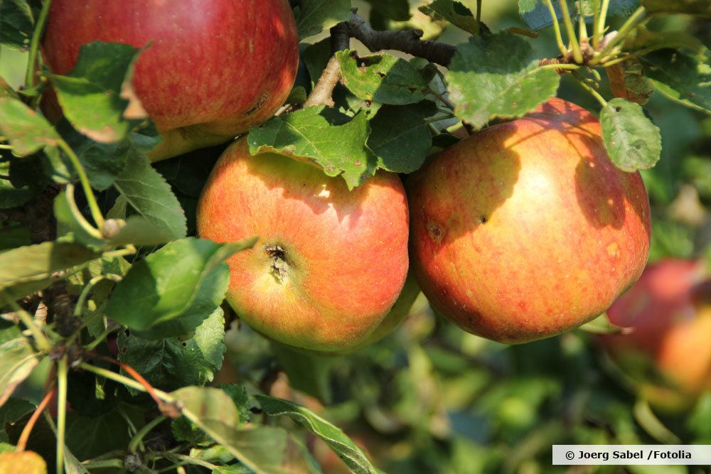 Apfel Jonagold Robusheit
