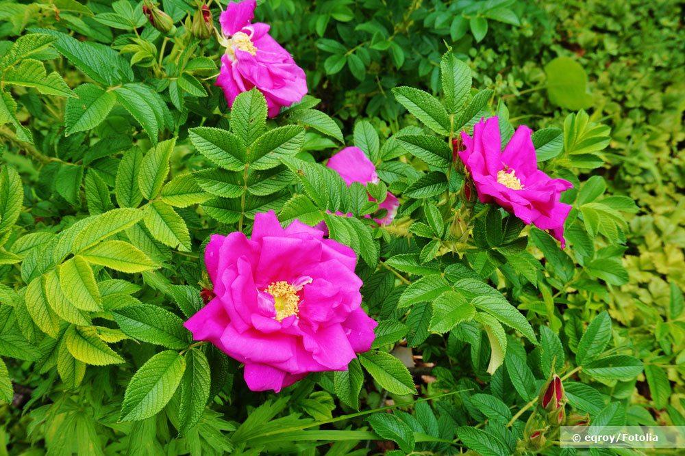 Kartoffelrose, Rosa rugosa