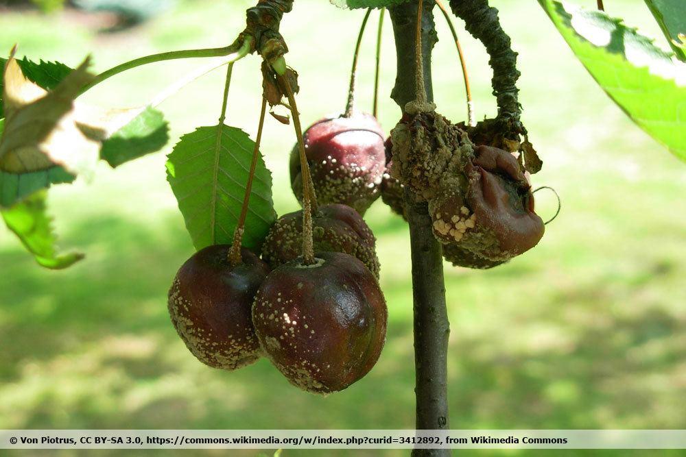 Monilia-Fruchtfäule an der Kirsche