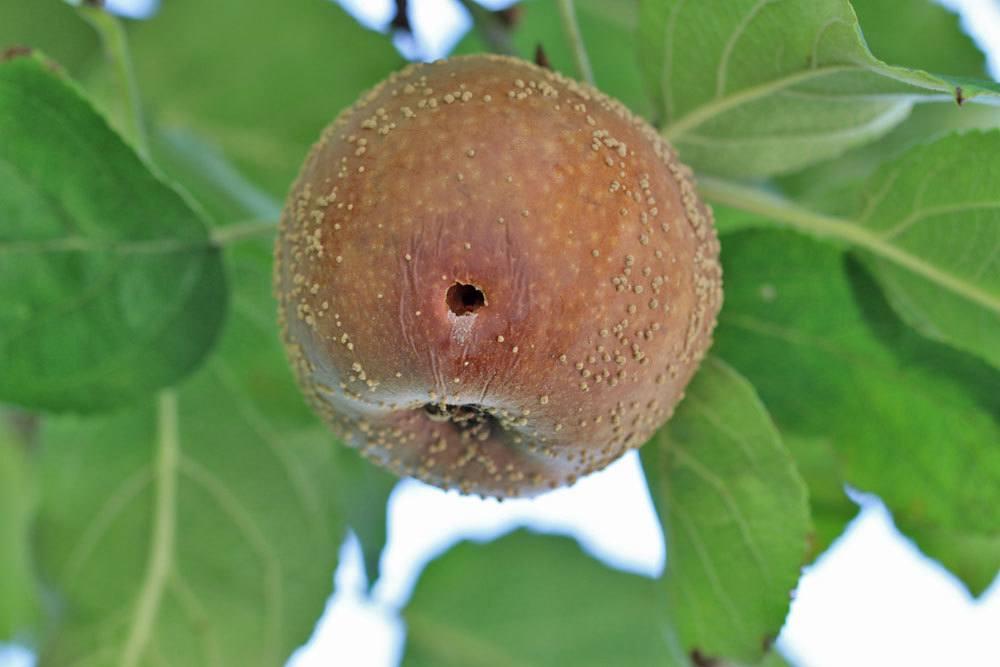 Monilia-Fruchtfäule