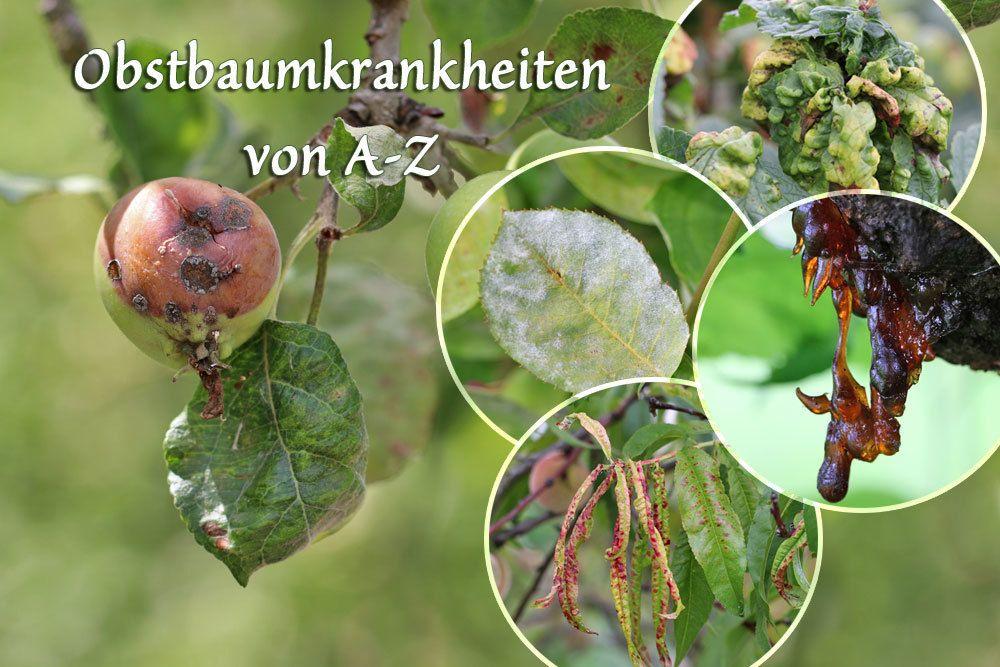 Obstbaumkrankheiten von A-Z