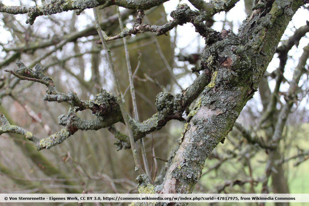Obstbaumkrebs an einem Apfelbaum