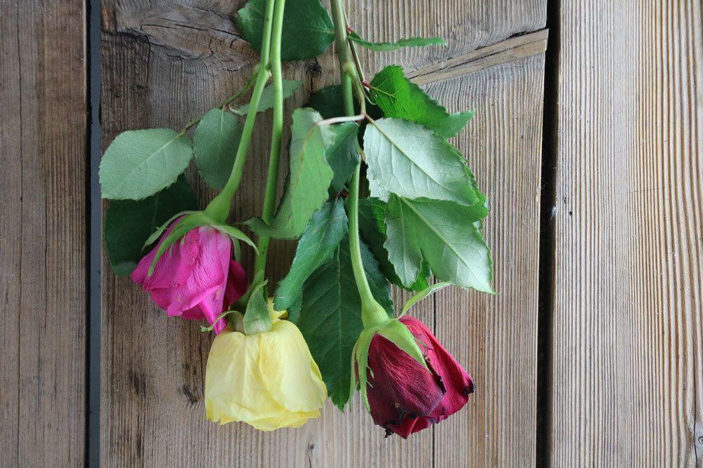 Rosen kopf über trocknen