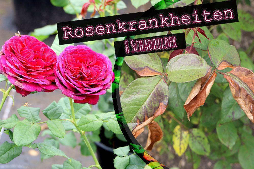 Rosenkrankheiten Welke Blätter