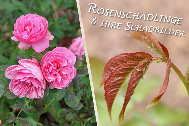 Rosenschädlinge an Rosen
