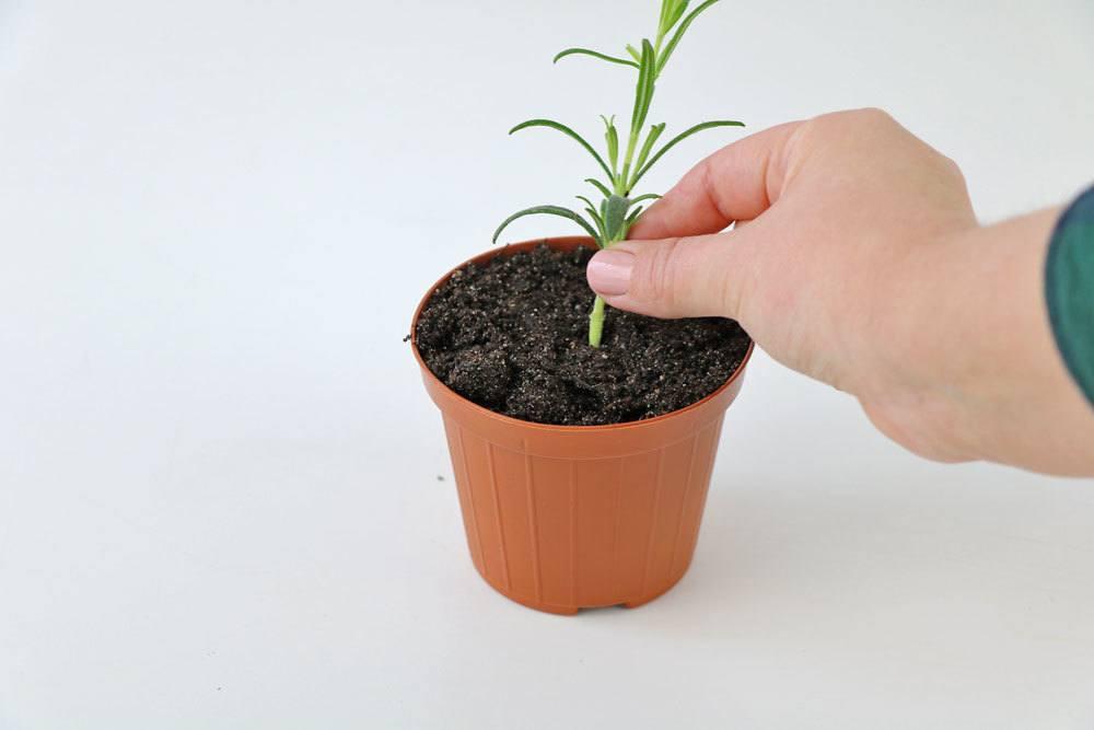 Steckling einpflanzen