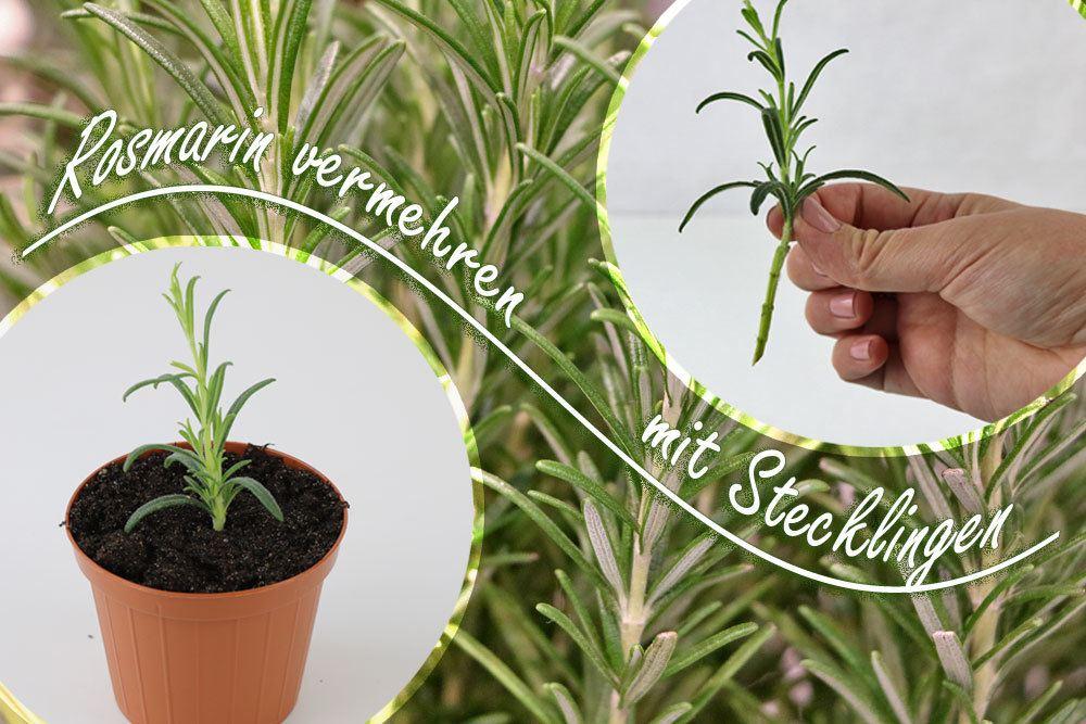 Rosmarin vermehren mit Stecklingen