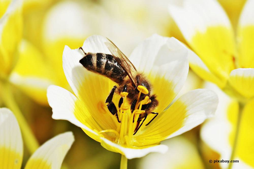 Spiegelei-Blume, Limnanthes douglasii