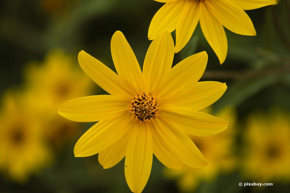 Stauden-Sonnenblume, Helianthus decapetalus