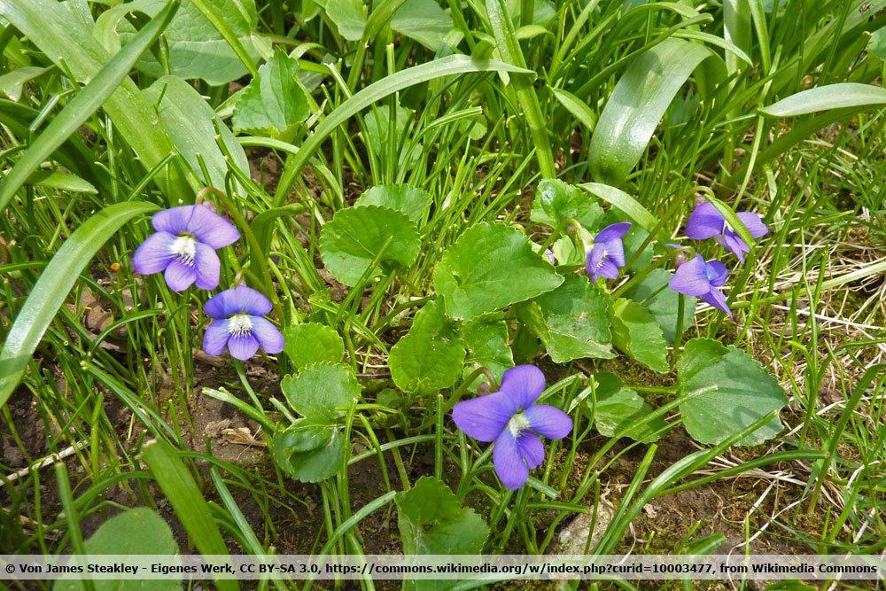 Pfingst-veilchen, Viola soronia