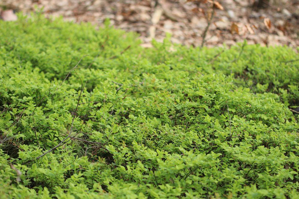Waldheidelbeere, Vaccinium myrtillus