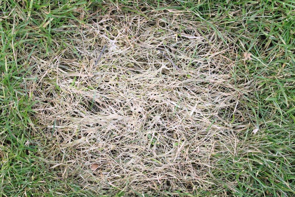 Wurzelbrand im Rasen