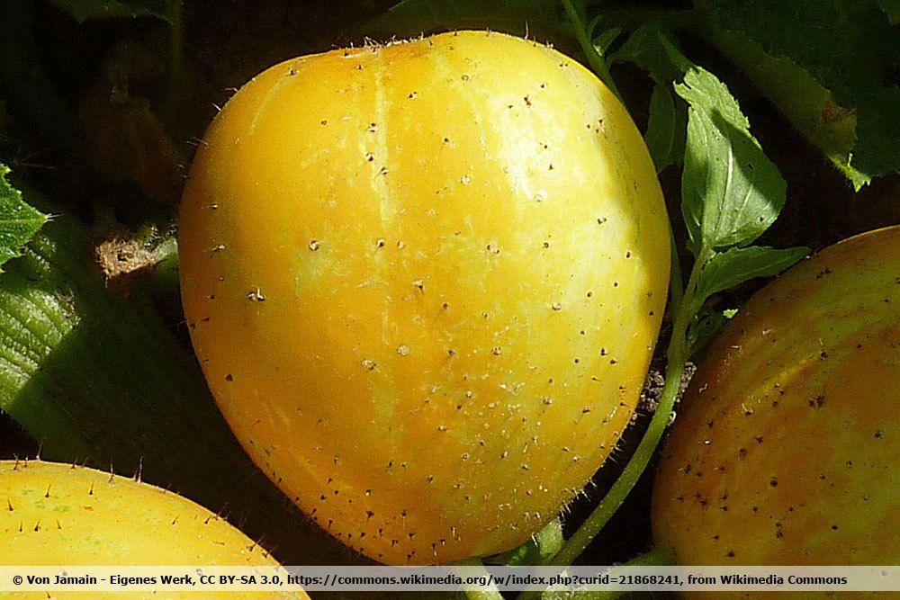 Zitronengurke Lemon