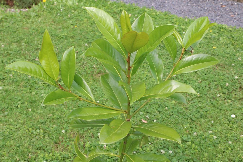 Immergrüne Magnolie Jungpflanze
