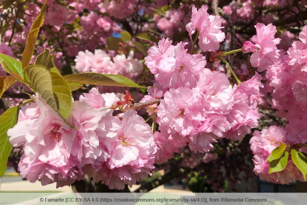 Japanische Nelkenkirsche 'Kanzan' Blüten